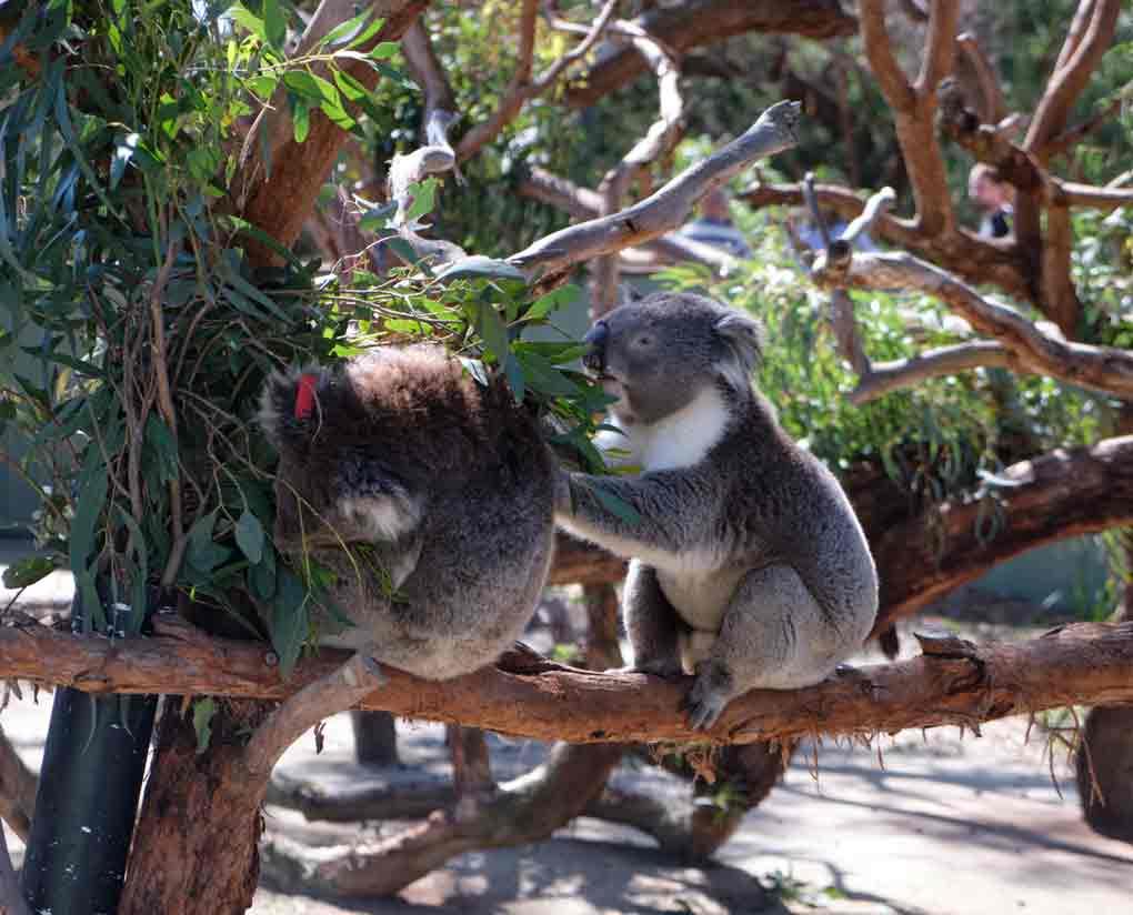 two Koalas at Moonlit Sanctuary